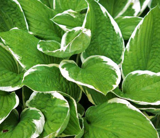 Cieniolubna Hosta Funkia – sadzenie i pielęgnacja
